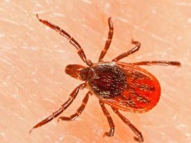Black-legged (Deer) Tick Photo, NPMA